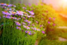 trvalky v letné zahradě