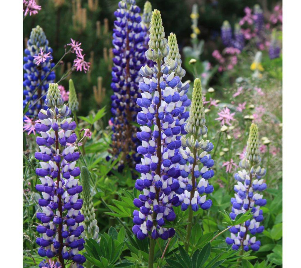 fialový květ lupiny
