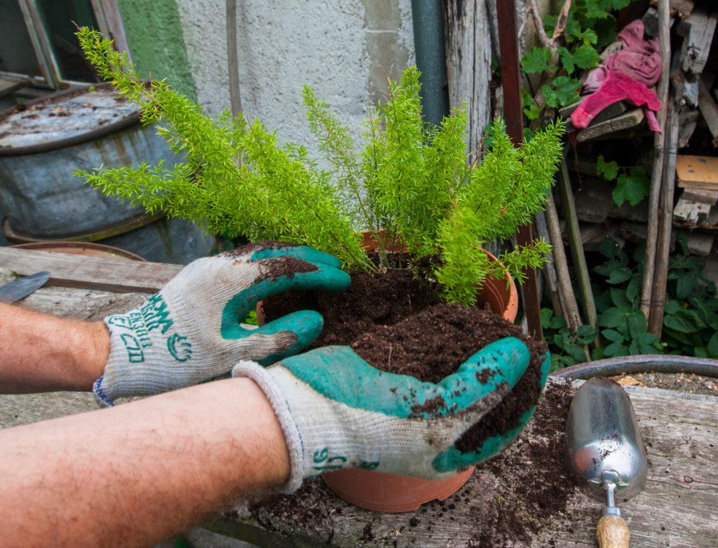 přesazování asparágusu-vložení rostliny do květináče