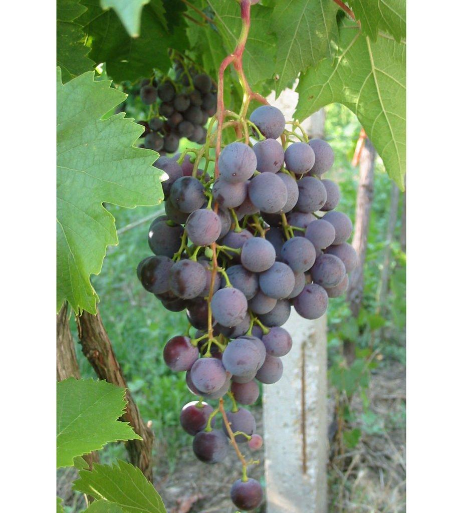 odrůda viniče Olšava