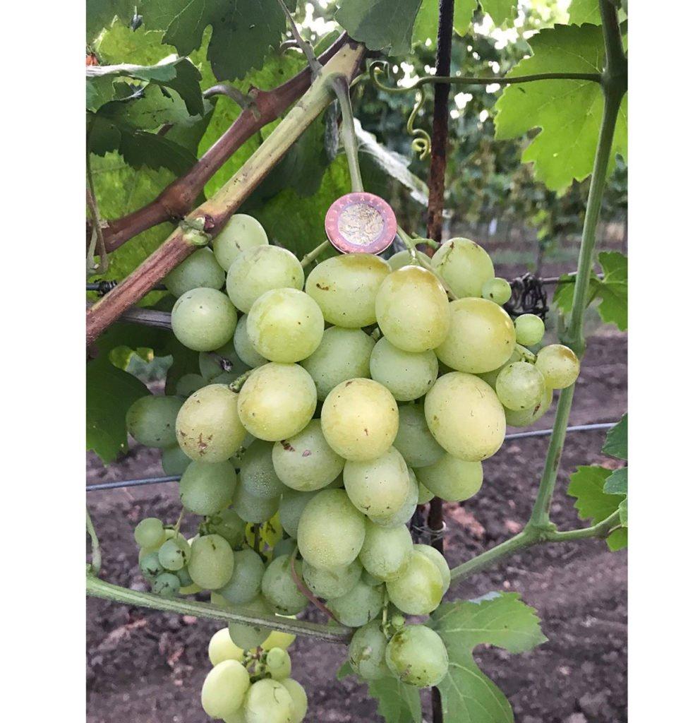 odrůda viniče Talizman