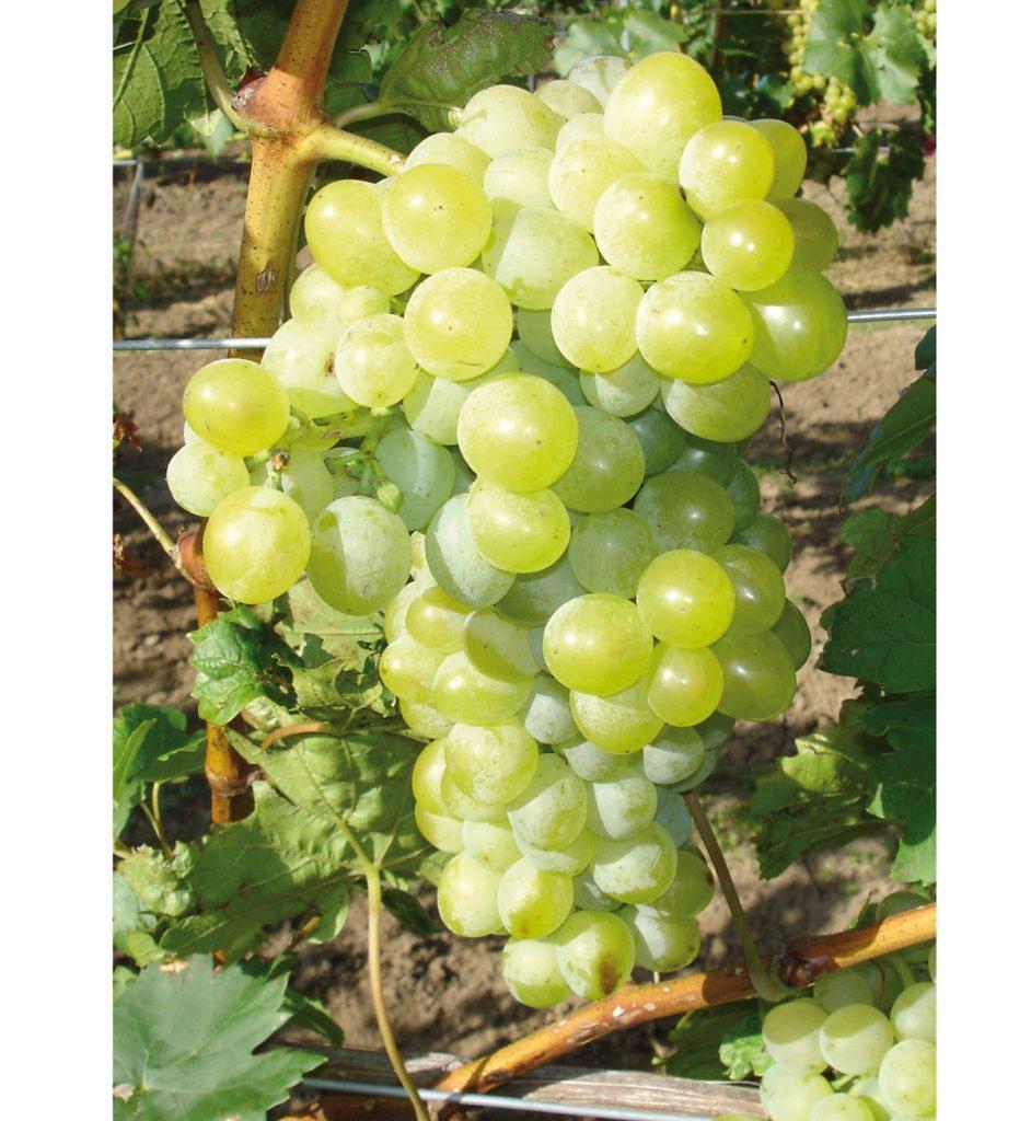 odrůda viniče Áron
