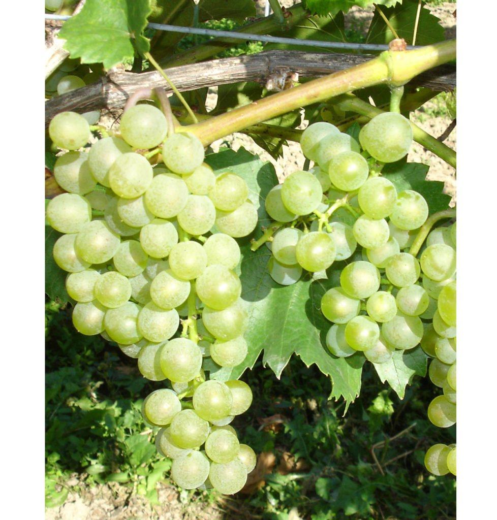 odrůda viniče Bianca