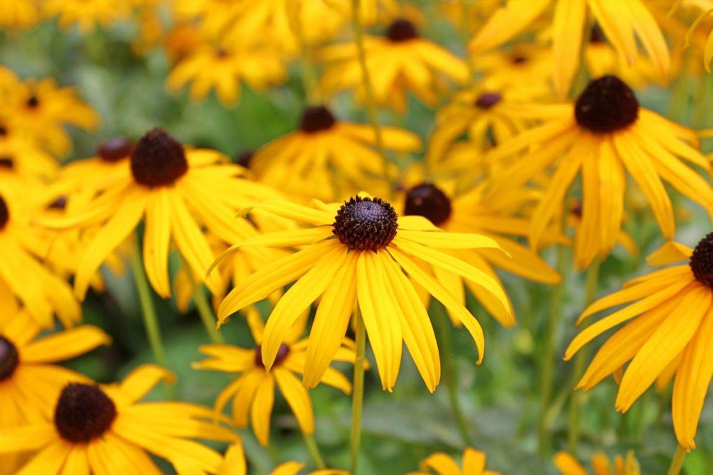 žlutá třapatka zářivá