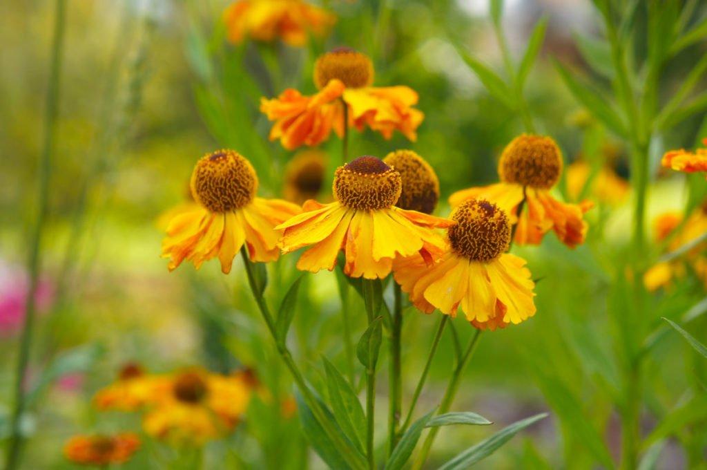žlutý záplevák podzimní