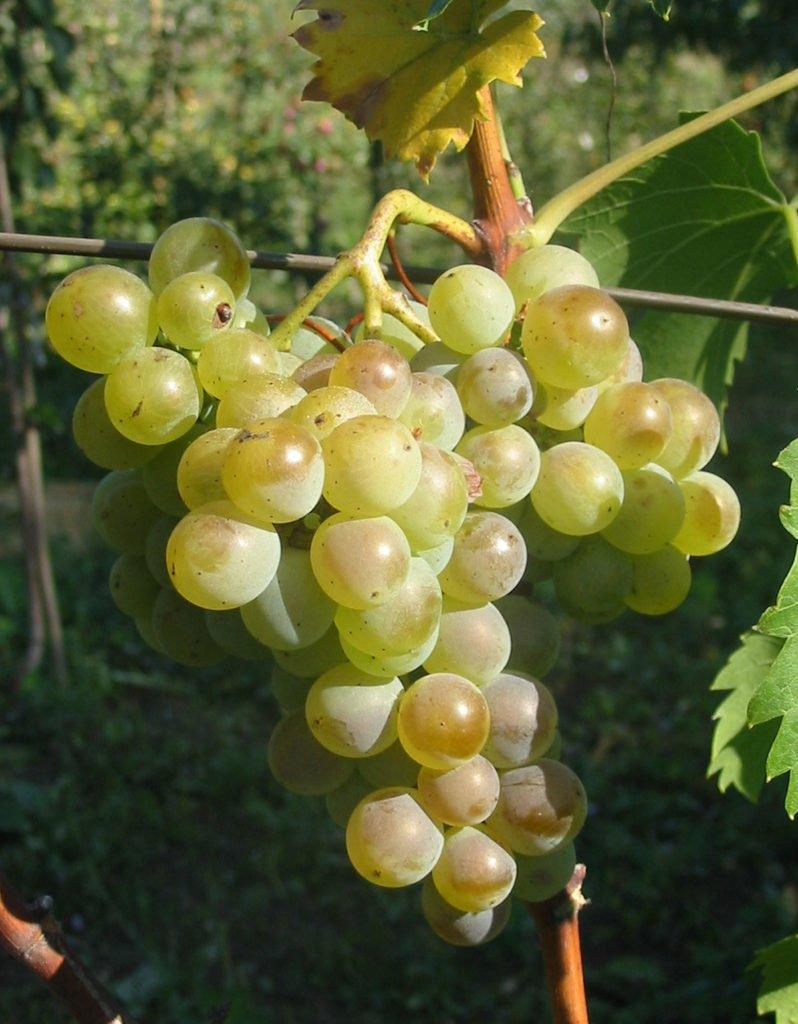 odrůda viniče Chrupka bílá