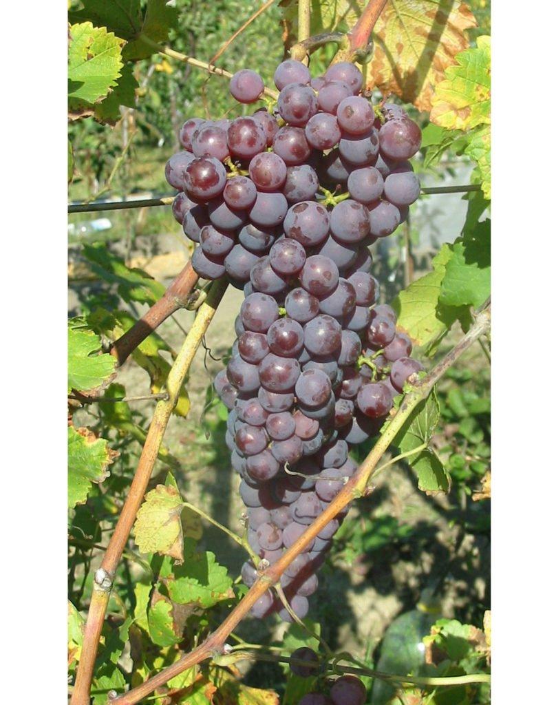 odrůda viniče Chrupka červená