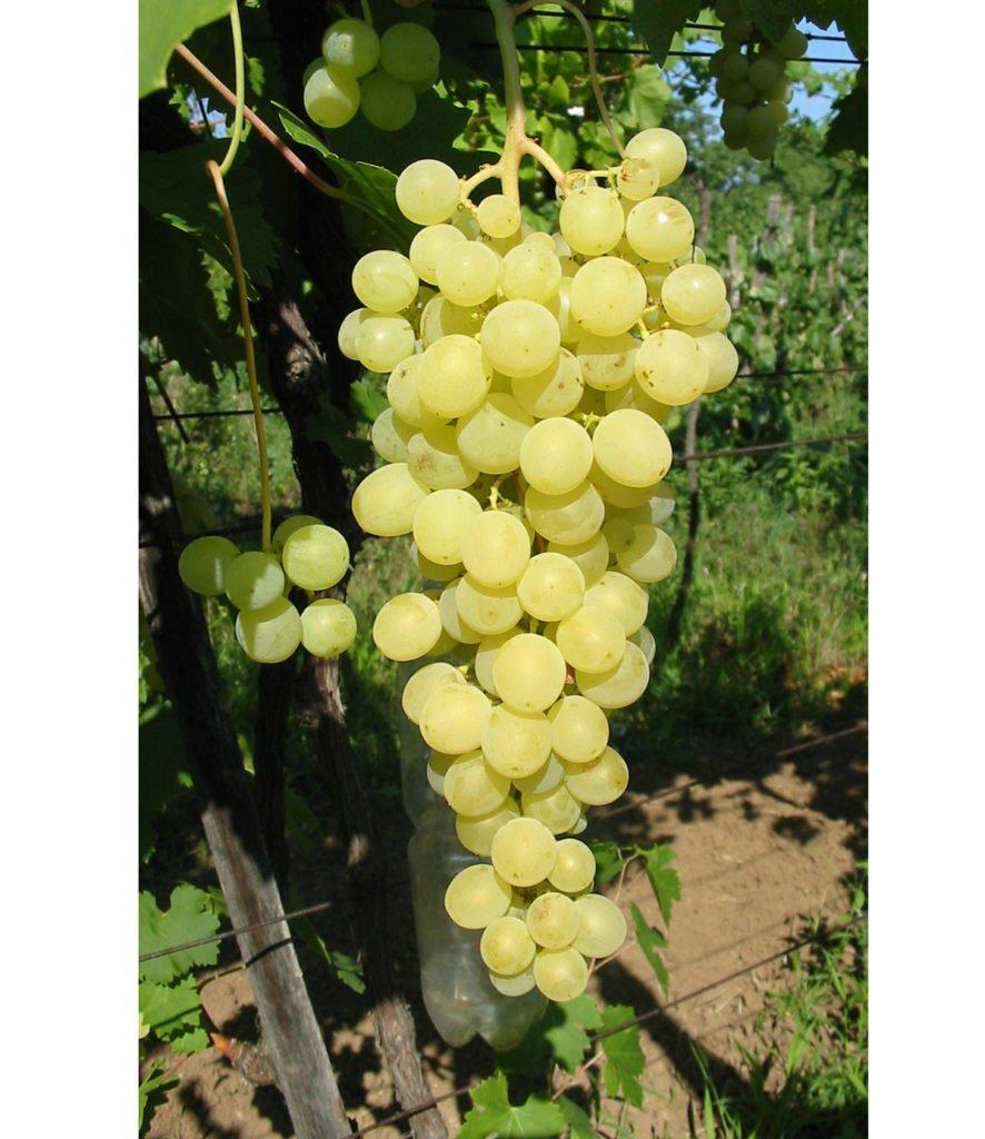 odrůda viniče Diamant