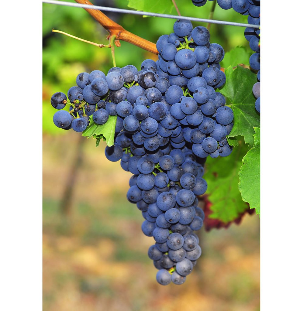 odrůda viniče Merlot