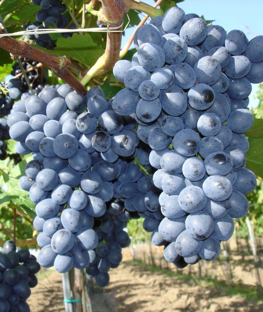 odrůda viniče Nero