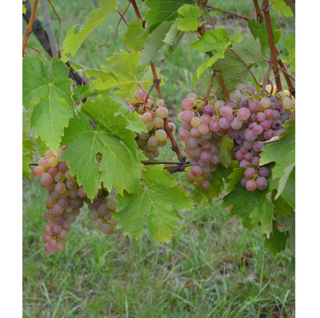 odrůda viniče Purpur