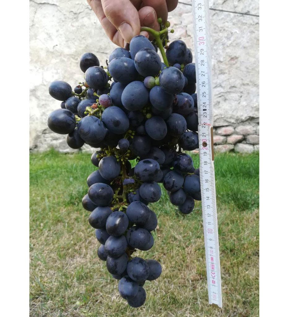 odrůda viniče Sfinks