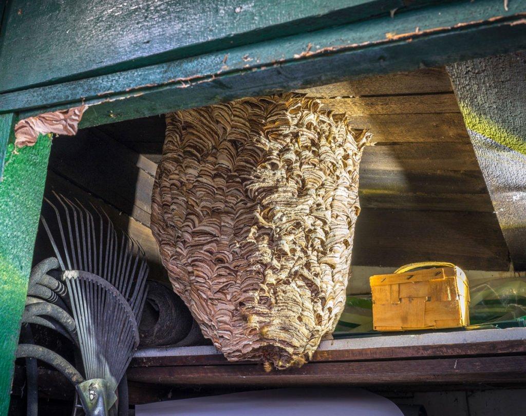 hnízdo sršní