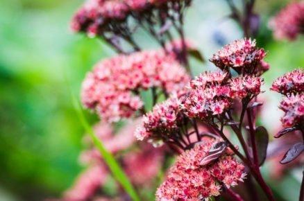 Rozchodník: Nenáročná a dlouhověká ozdoba záhonů i květináčů