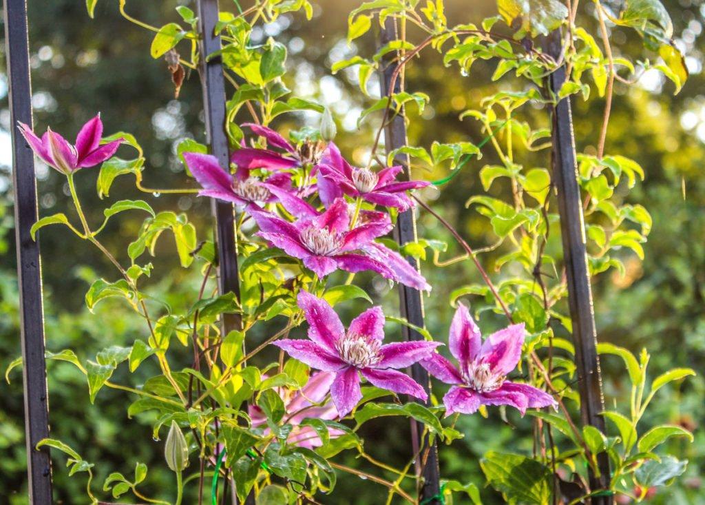 růžový plamének na plotě