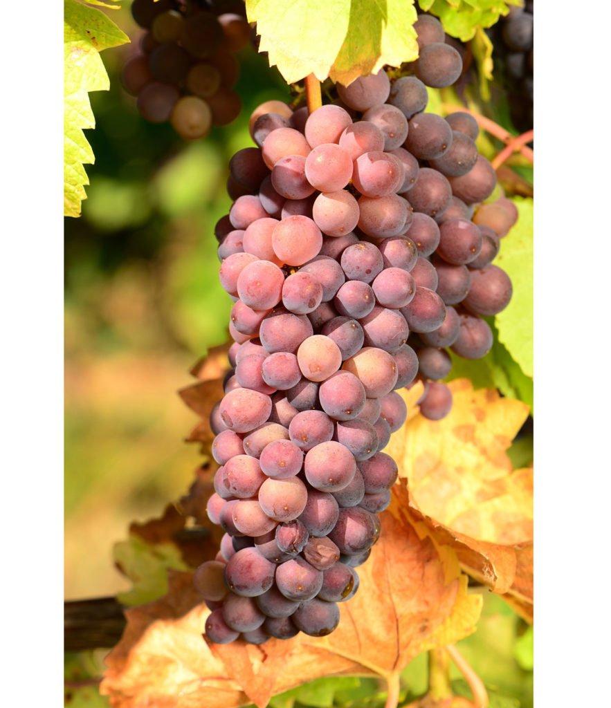 odrůda viniče Rulandské šedé