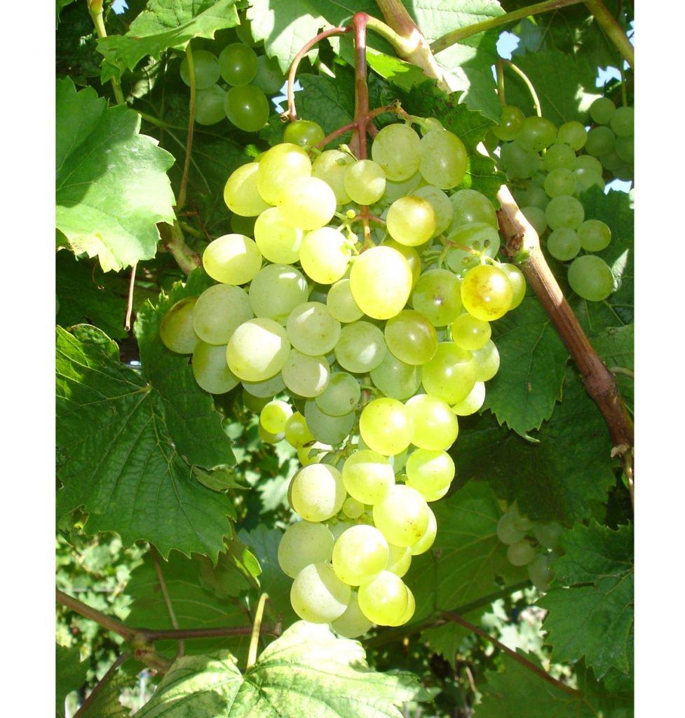 odrůda viniče Zala gyonge