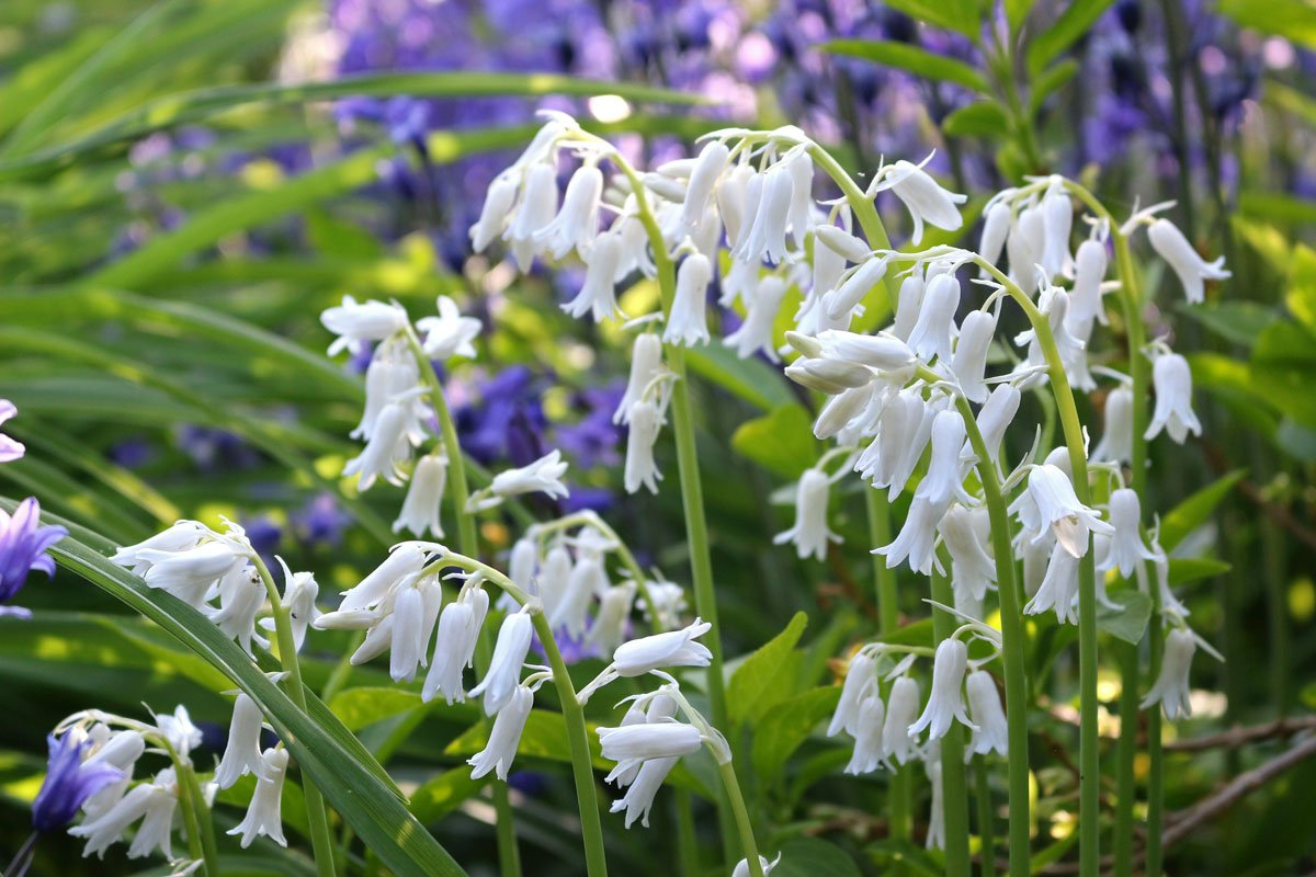 bílý hyacintovec
