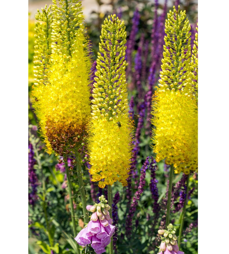 žlutý liliochvostec
