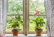 muškáty v květináčích na okně