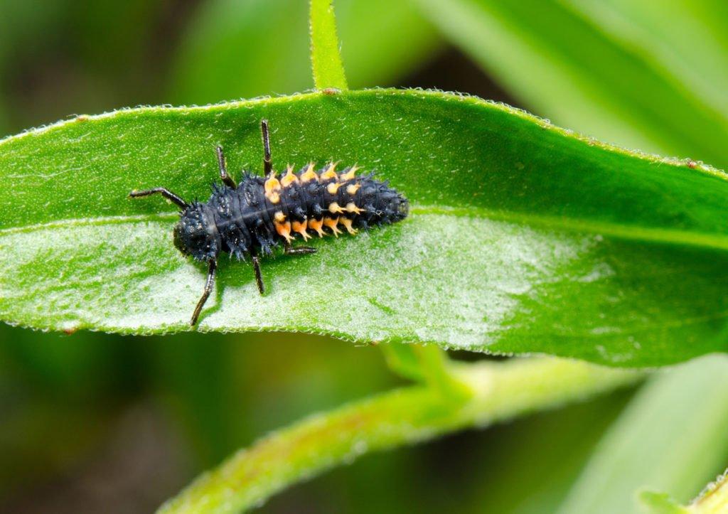 larva berušky