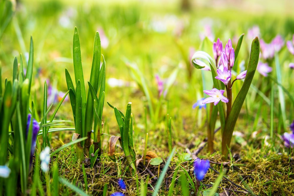 zahrada s růžovým a modrým hyacintem a bílou puškinii