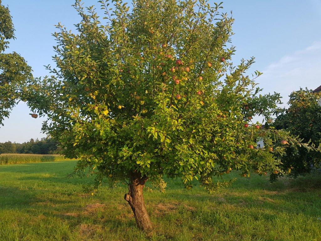 stará odrůda jabloně