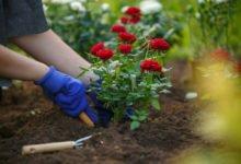 sázení růžového keře do zahrady