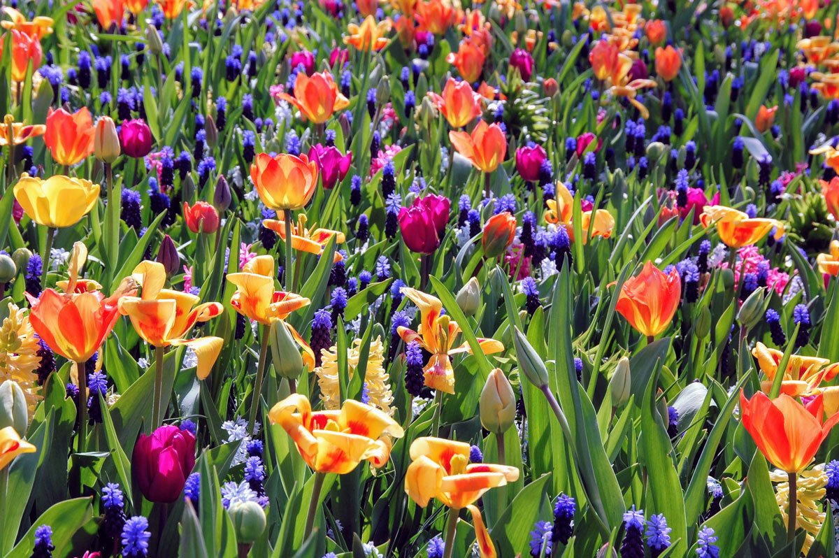 zahrada s barevnými cibulovinami různych druhů