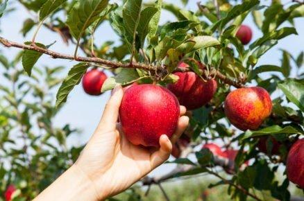 7 dobrých rad, jak správně vybrat ovocný stromek