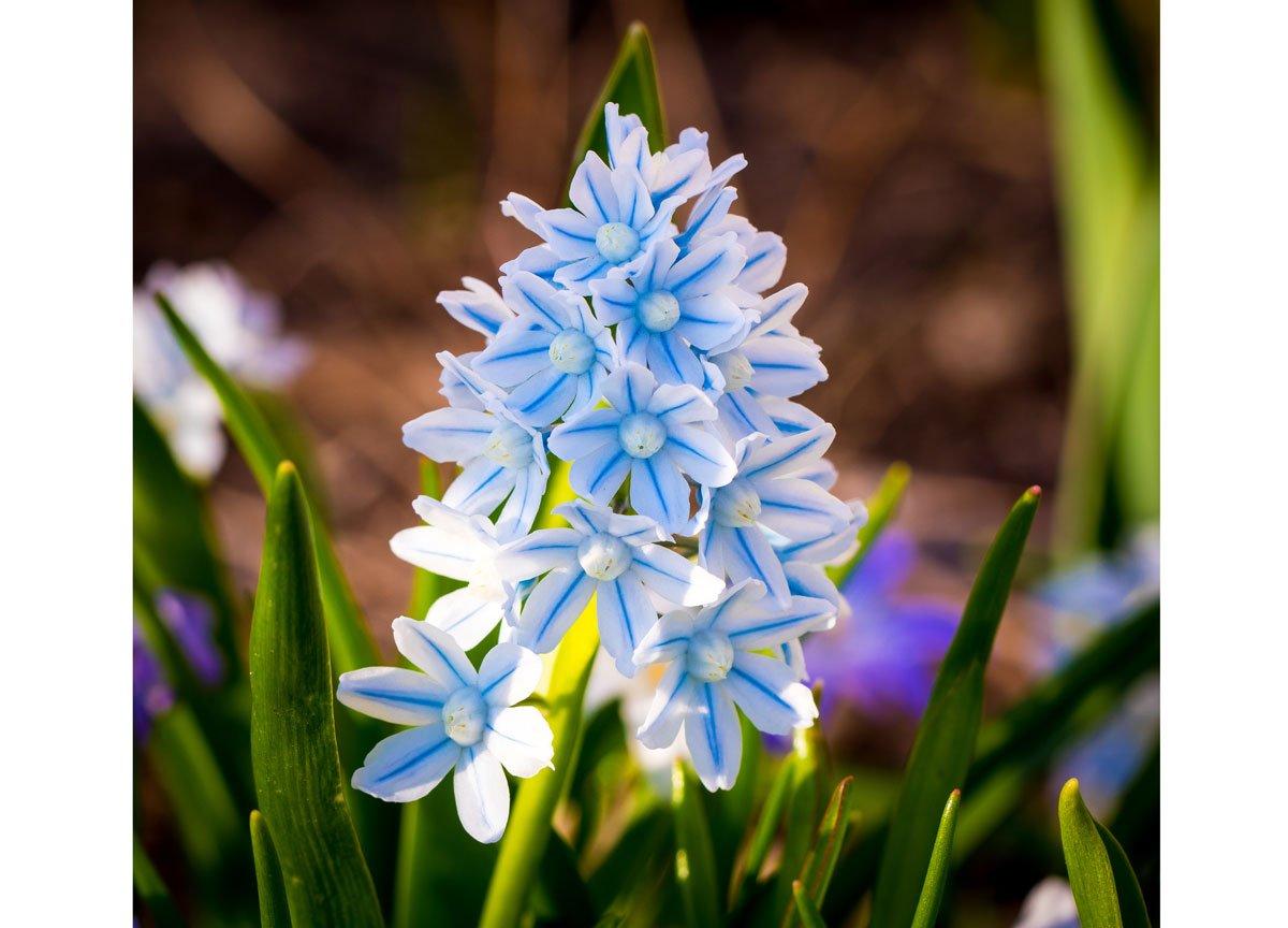bílo-modrá puškinie