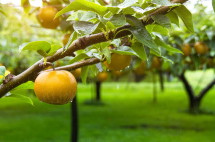Nashi hrušky: Tvarem jako jablko, chutí jako hruška