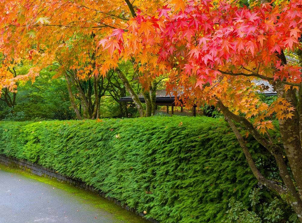živý plot na podzim