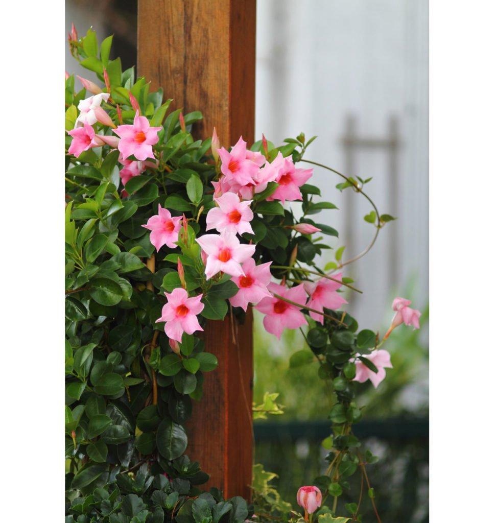mandevila v růžové barvě