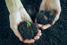 zazimování hlíznatých rostlin