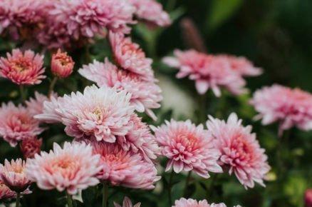 Chryzantémy, zářivé ozdoby podzimních záhonů