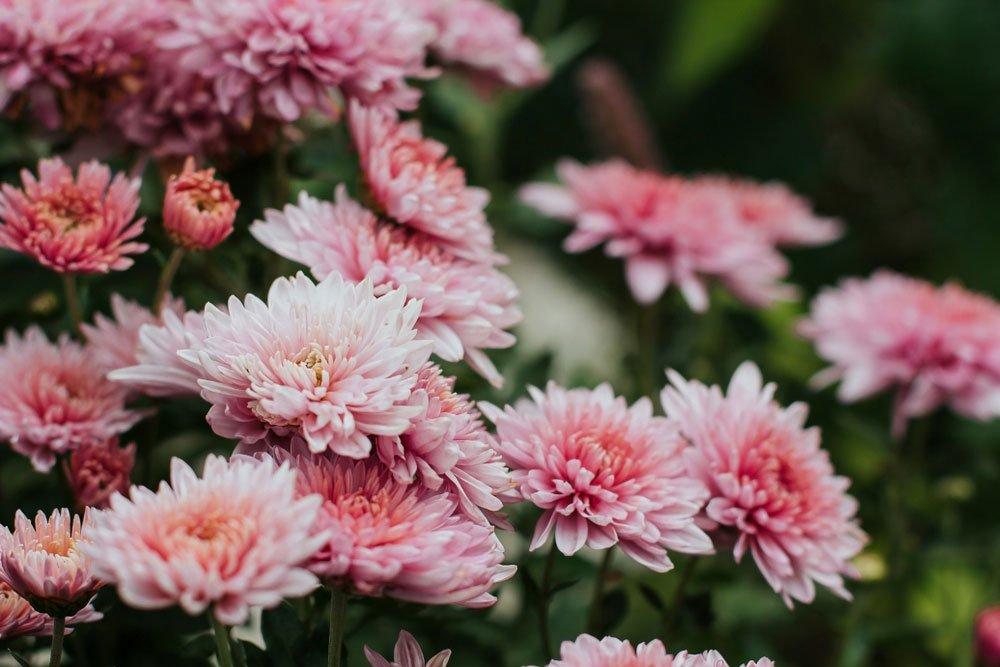 růžové chryzantémy v zahradě