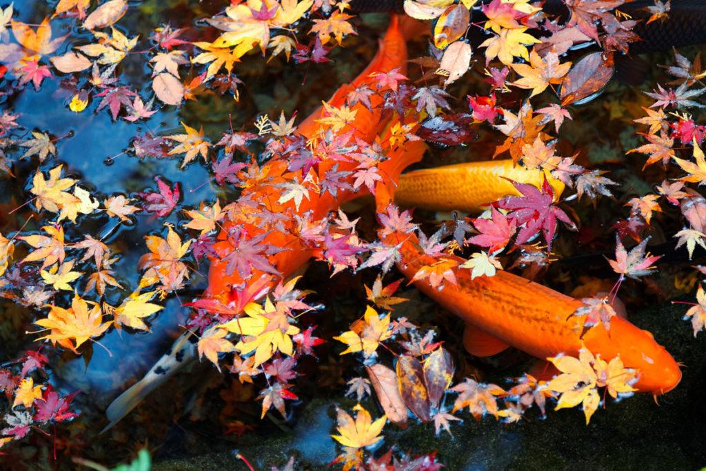 podzimní jezírko s lístím na hladině a japonskými kapry