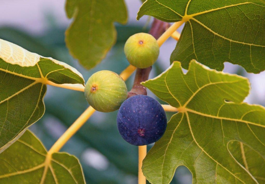 fíkovník s plody