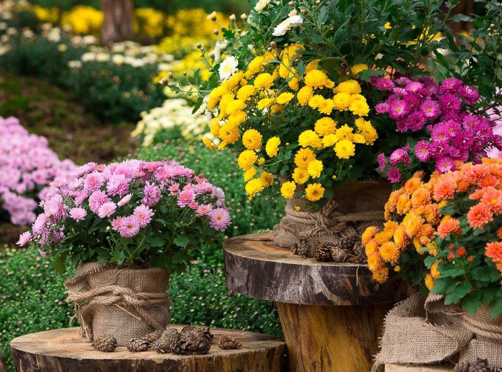 růžové, oranžové, žluté chryzantémy v květináčích na podzimní zahradě