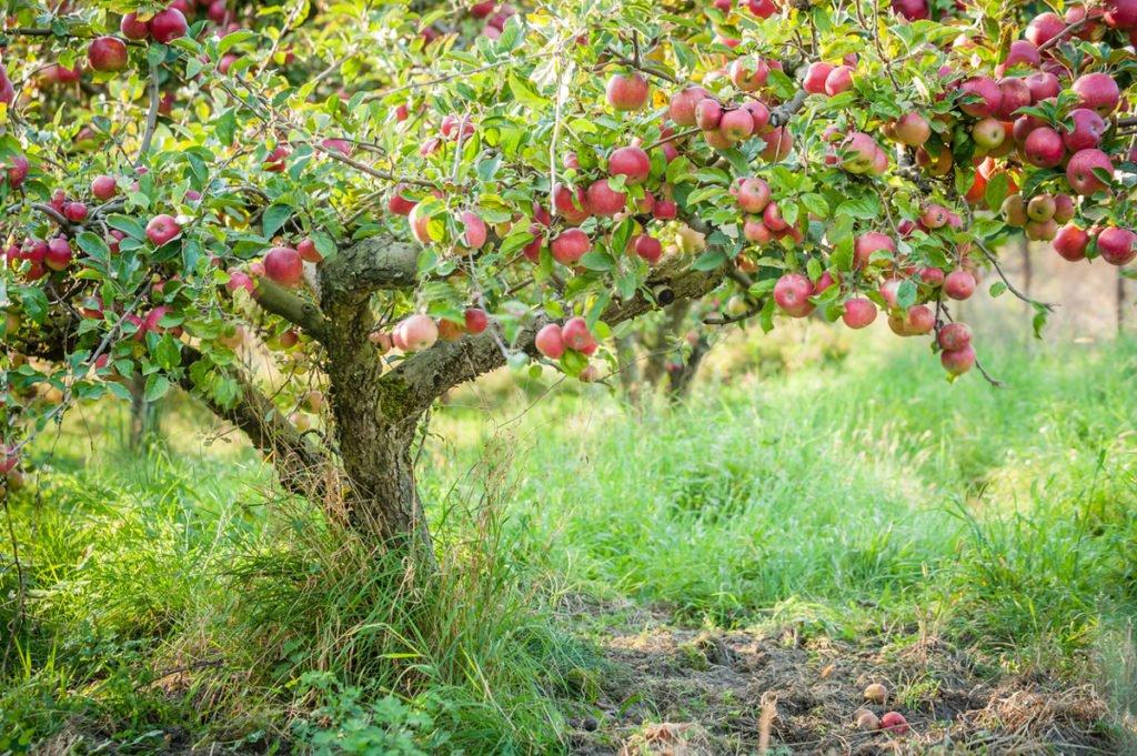 strom jabloně