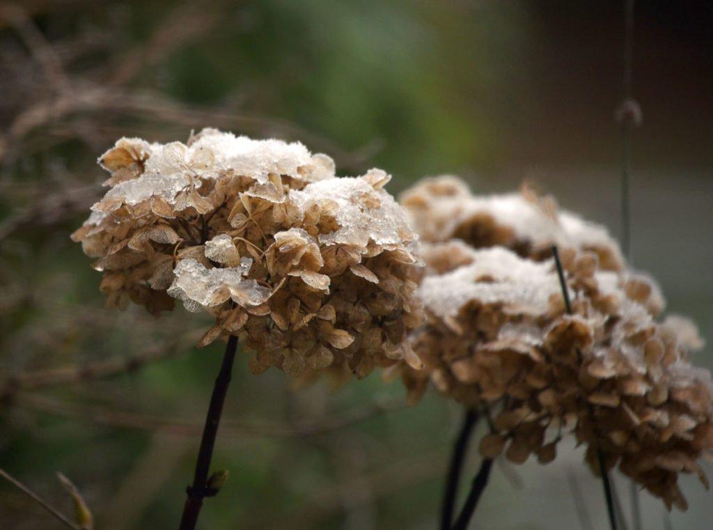 odkvetlá hortenzie v zimě