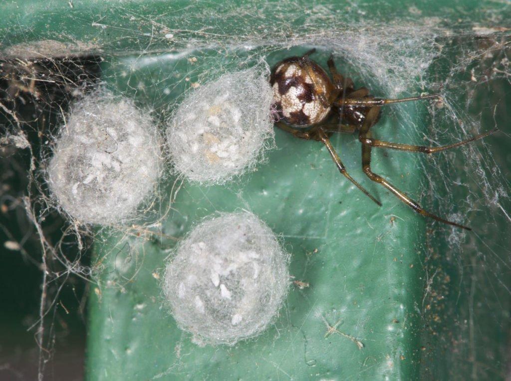 snovačky s pavučinovými obaly pro vajíčka
