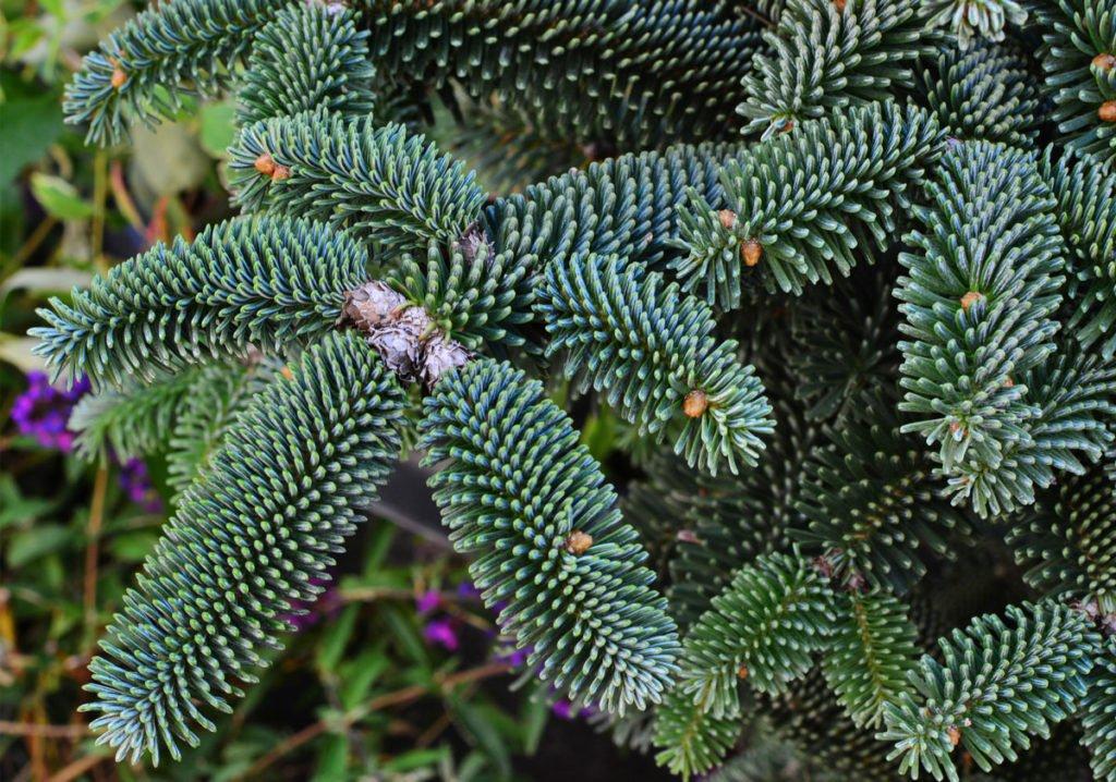"kultivar jedle Abies pinsapo ""Glauca"""