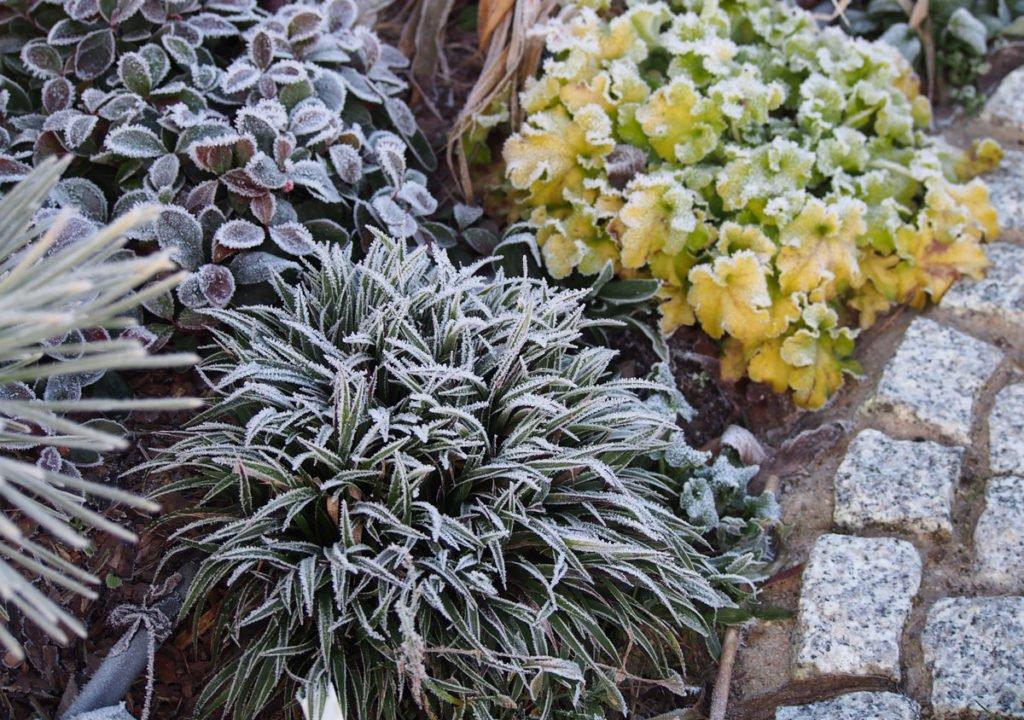 záhony s heucherou, okrasnou trávou pokryté mrazem