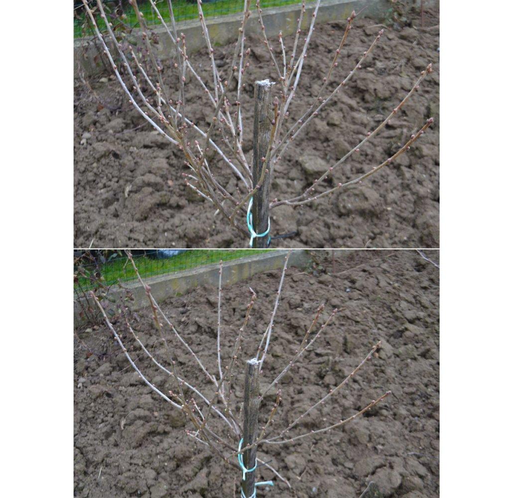 zimní řez mladého stromku rybízu před a po úpravě