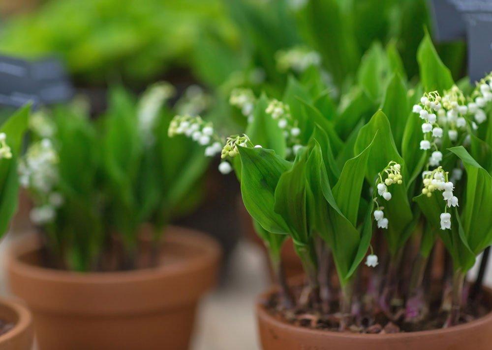 rychlení konvalinek: konvalinky v květináči