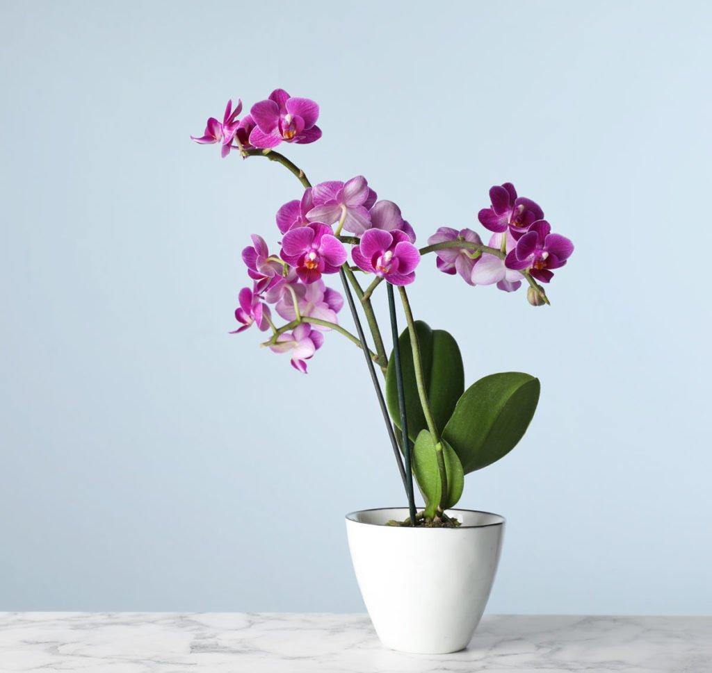 nenáročné pokojovky: orchidej