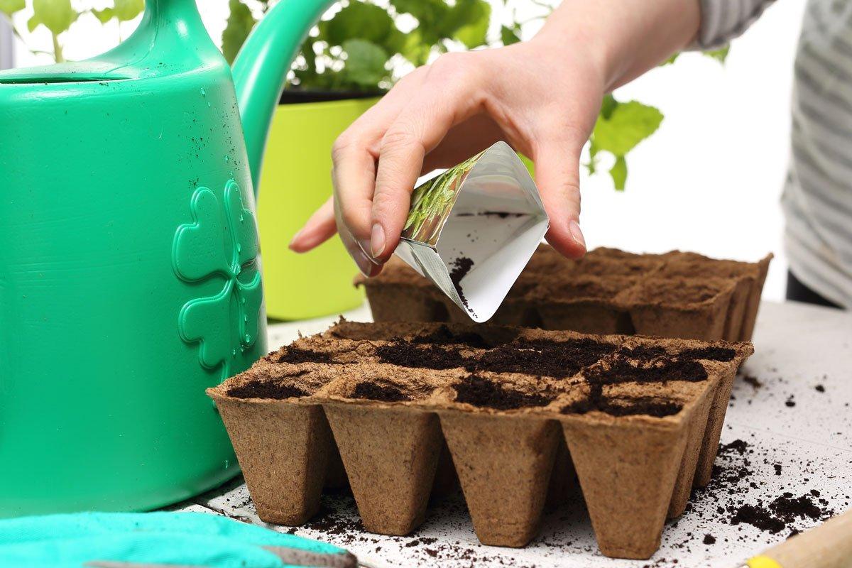 předpěstování letniček: výsev semen