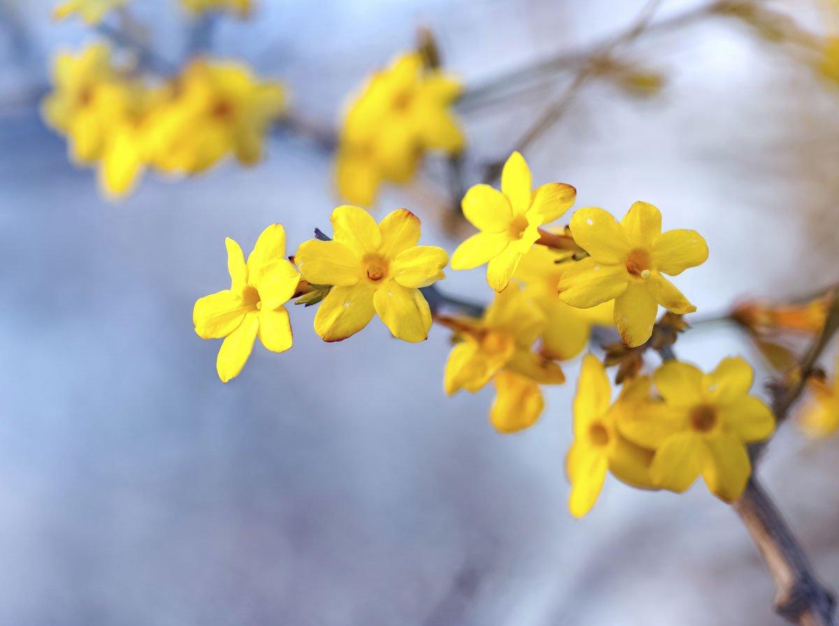 První jarní květiny v zahradě: jasmín nahokvětý